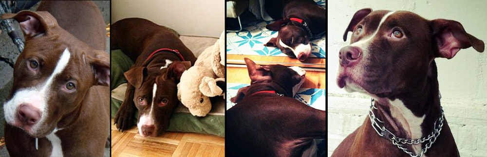 MILA.  Rescued from a kill shelter in Manhattan, after being surrendered due to anti–pit bull housing regulations. Mila now lives a very happy life filled with love from her mom Laura, her best human friend Gio and her best doggie friend Chloe.