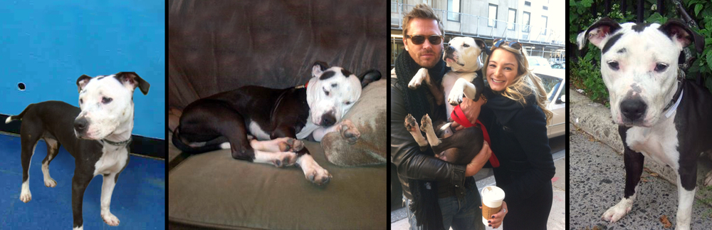 LEO.  Rescued from the euthanasia list from a shelter in Manhattan by Stray from the Heart in partnership with Sav-a-Bull. Together we provided the medical care, training and time needed to prepare Leo for her amazing new life traveling the world with her recording artist daddy.