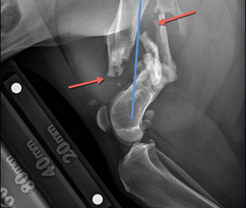 Chili's left hind leg x-ray, indicating several of the brakes in her femur.