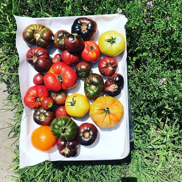 farm fresh heirloom tomatoes ........................... #friday #farmfresh #eatlocal #supportlocal #smallbusiness #ct #ctfoodandfarm #nofarmsnofood #heirloom #organic #healthy #grow #growop #countrybumpkin #inthesticks #tolland