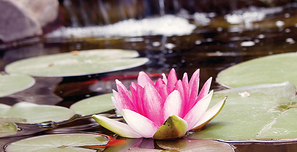 Mott's Landscaping-Water Lilly.jpg