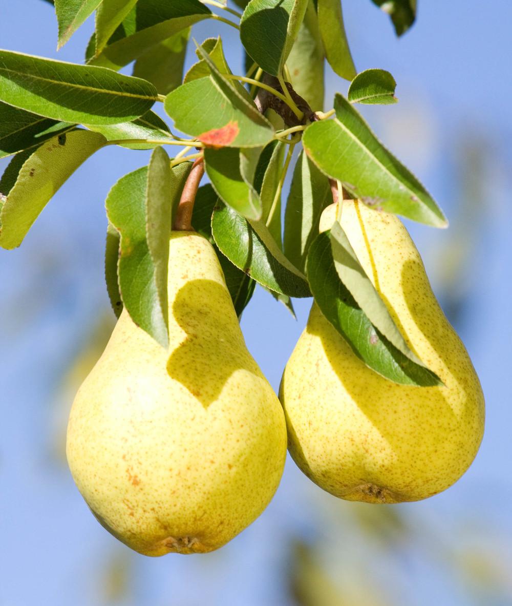 pears-in-tree.jpg