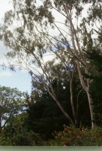 eucalyptus-citoradora.jpg