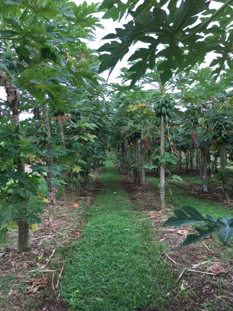 Hana Ranch_Papaya grove.jpg