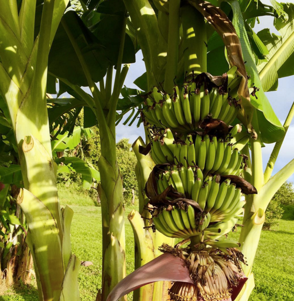 Hana Ranch_Bananas.png