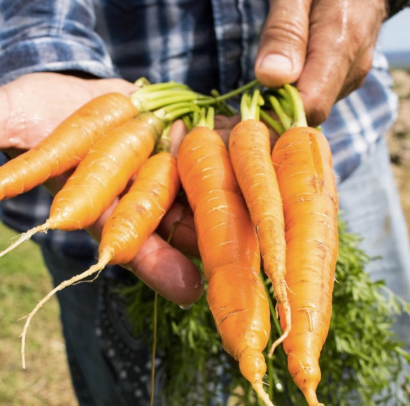 Hana Ranch_carrots right out of ground.jpg