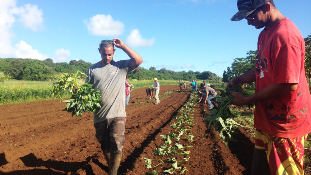 Hana Ranch_Sweet potato planting.jpg