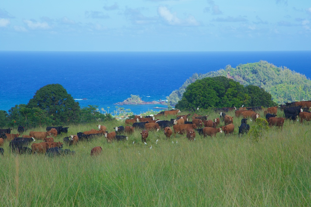 Hana Ranch_Cattle oceanview.jpg
