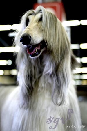 dog_show_afghan_blog.jpg