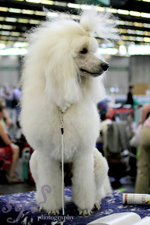 dog_show_caniche_blog.jpg