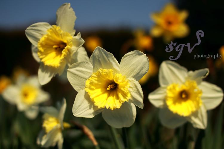 daffodils_web.jpg