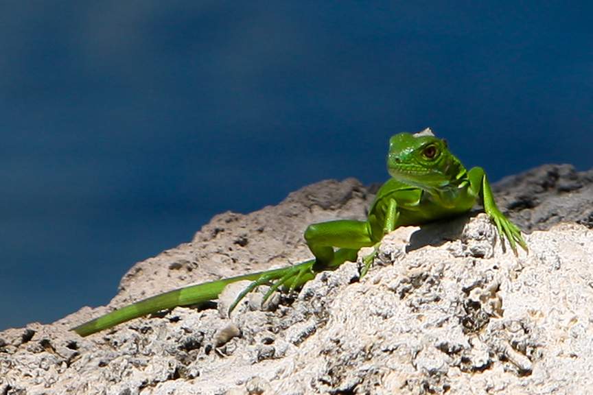 EdJohnston-Bright-Green-Lizard-Iguana-6144w.jpg
