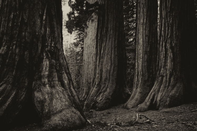 Sequoias, Yosemite NP