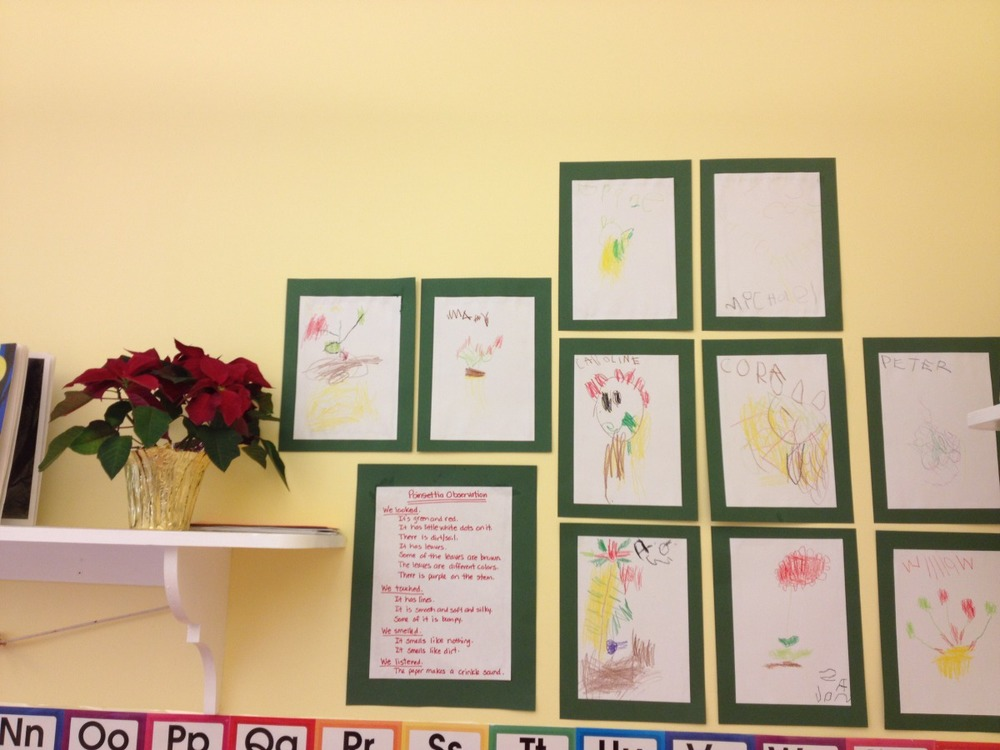 poinsettia observations and drawings