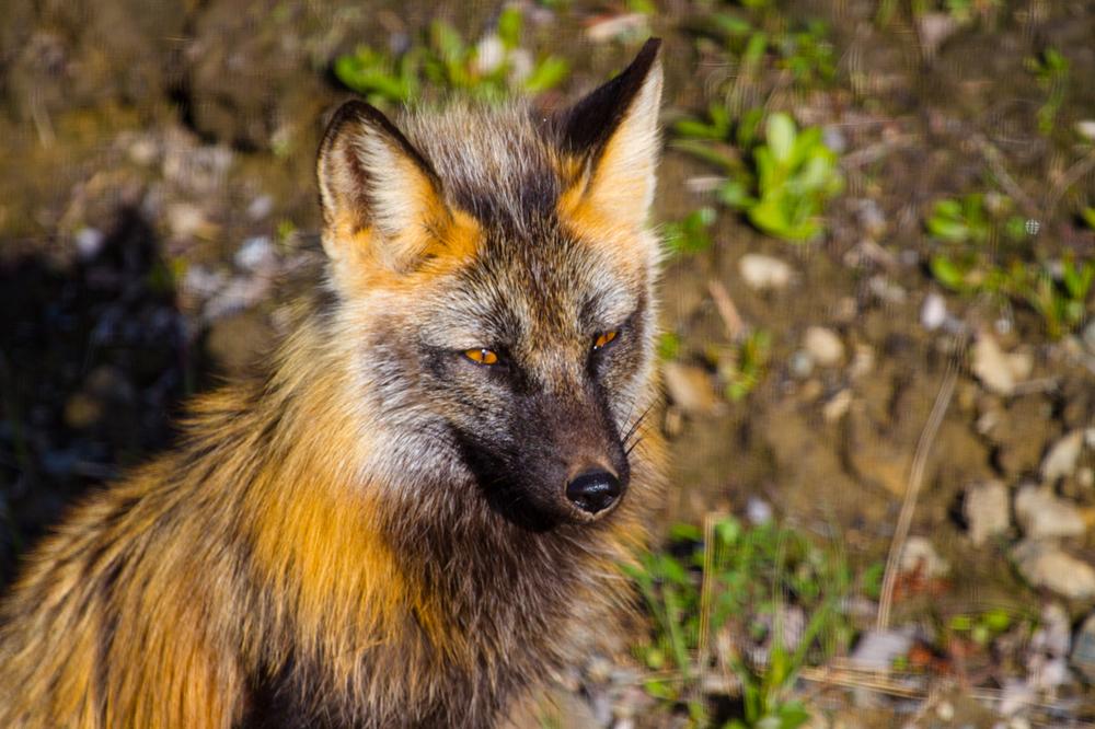Sunny Fox