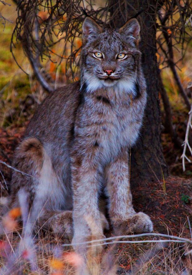Poised Lynx