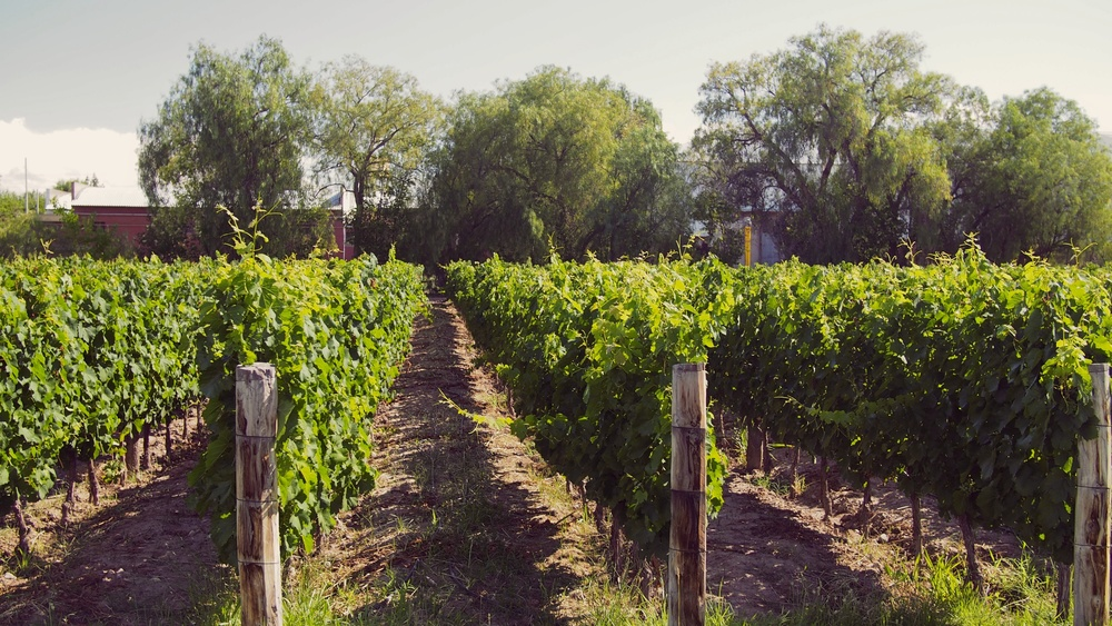 These vines provide the grapes Trapiche uses for their top-shelf wines, which are the only ones produced at this location