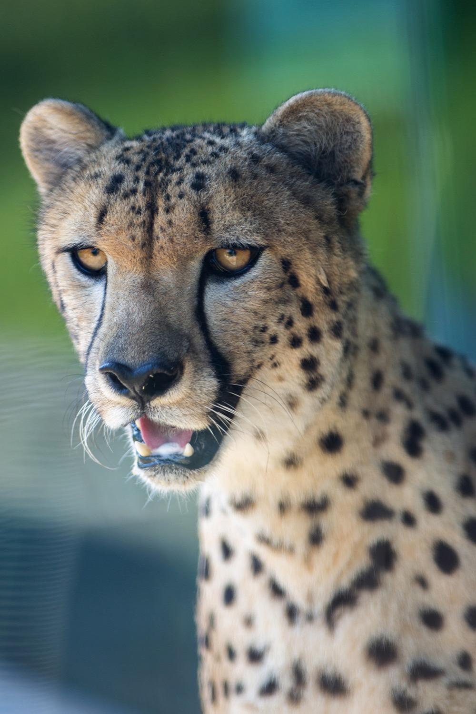 Cheetah-09.jpg