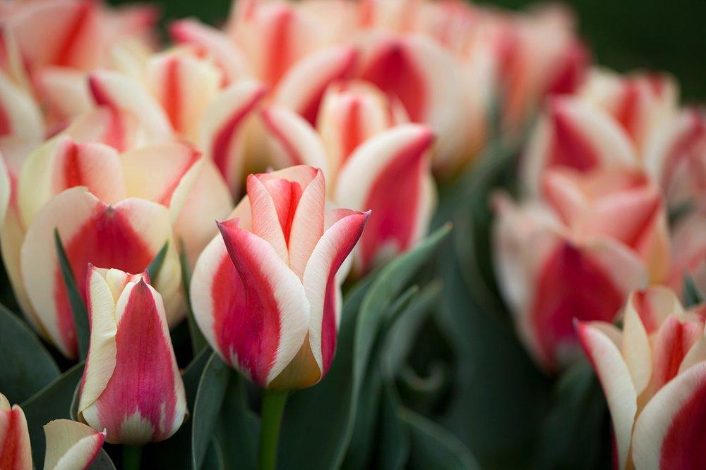 Tulip_MickeyVivi03.jpg