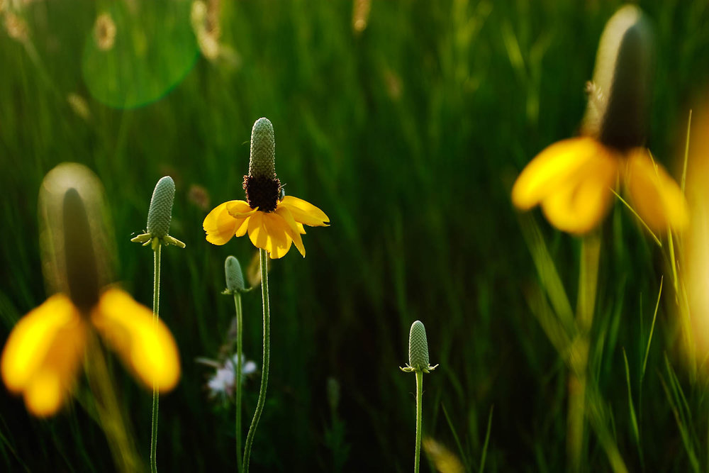 Prairie flower 2