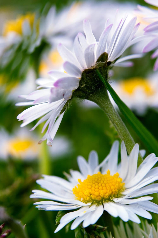 Wild daisy 3
