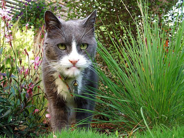 Le chat et l'hyperthyroïdie