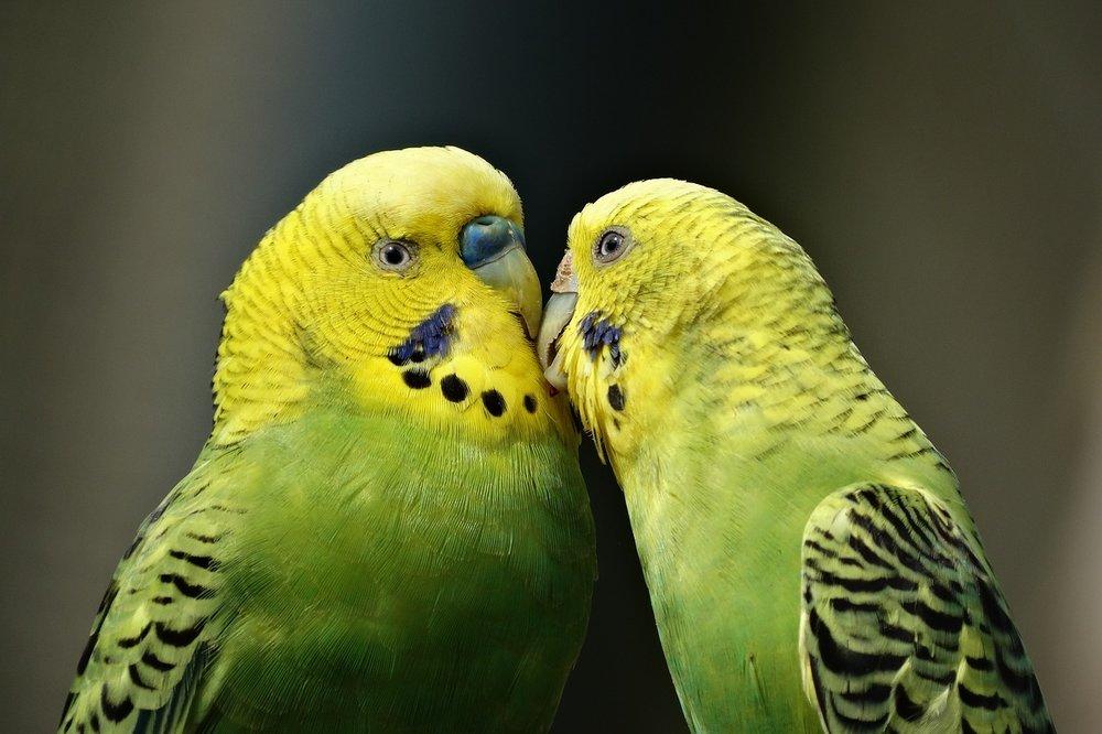 parrots-1729965_1280.jpg
