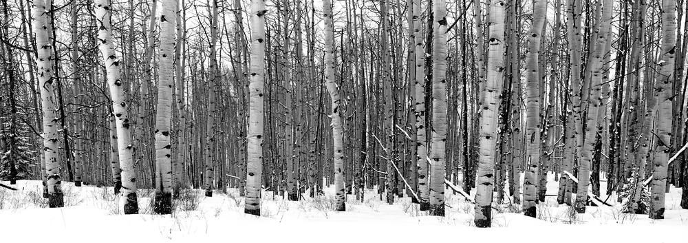 Winter Aspens - Aspen Colorado