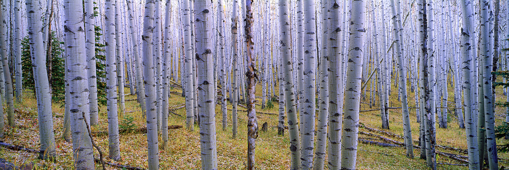 Endless Forest - Aspen Colorado