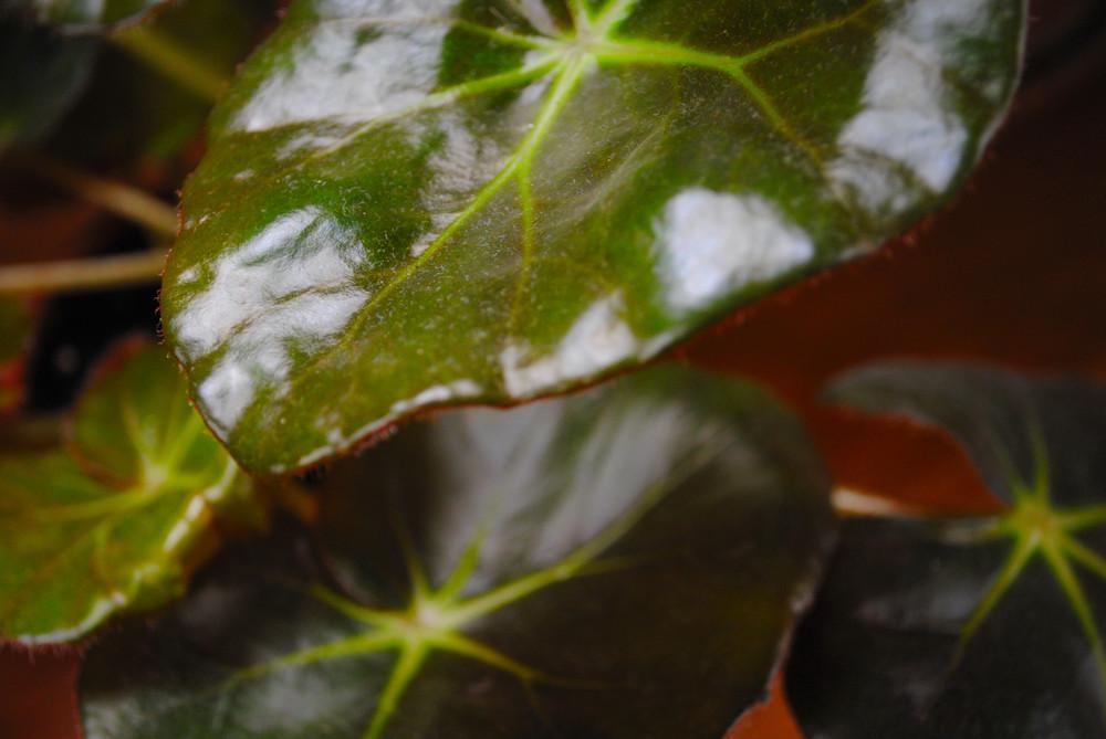 "Leaf Detail, "" Beefsteak"""