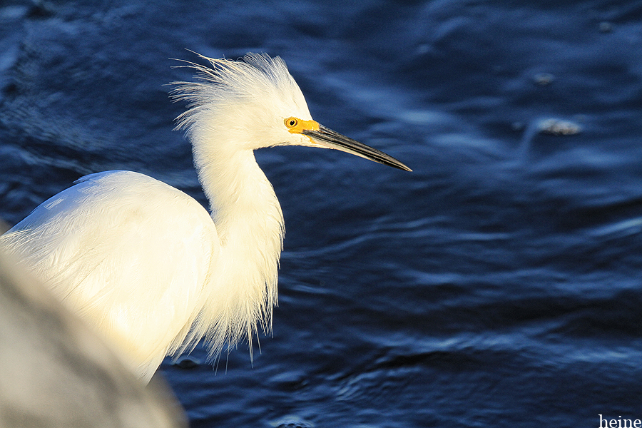 Snowy Egret, getting excited for a beautiful Sunday morning.