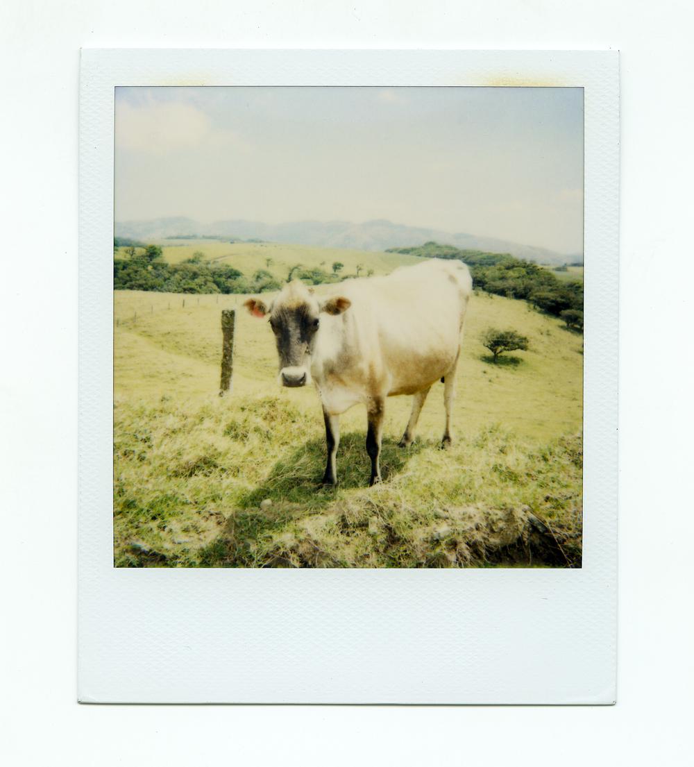 cr_cow.jpg