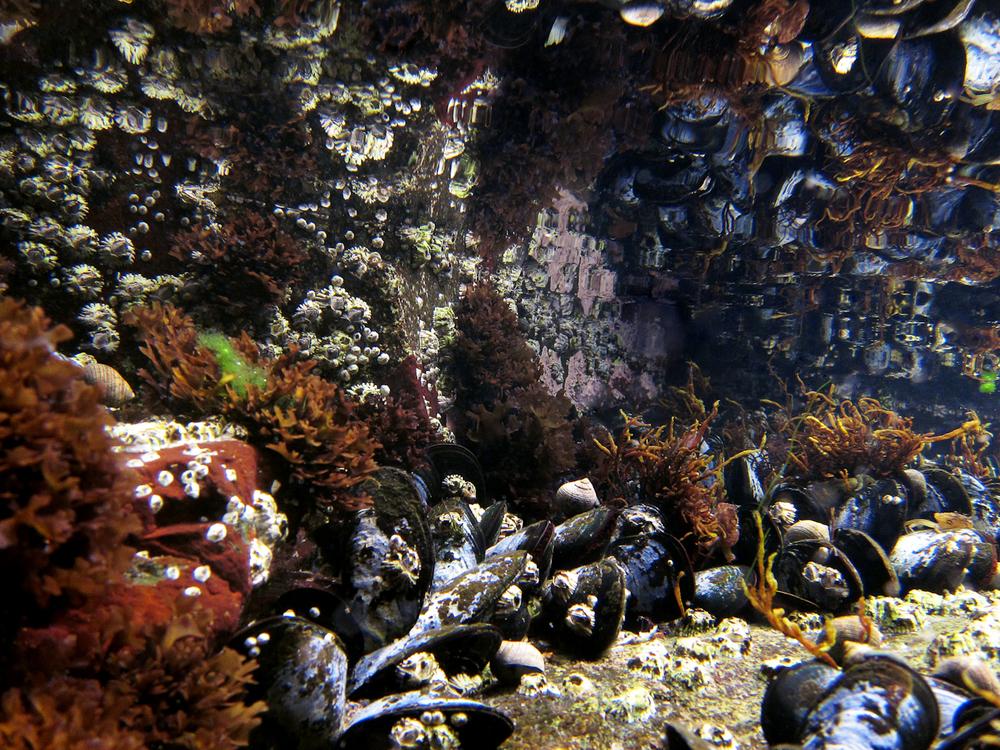 Mussel Tidepool.jpg