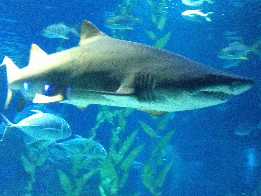 Evil shark 1
