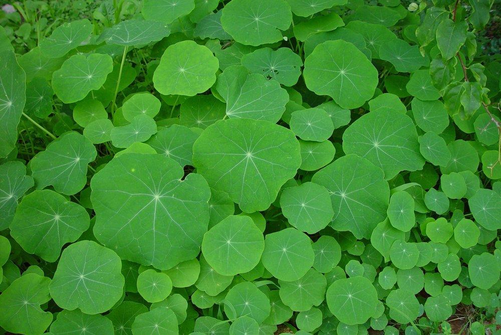 Nasturtiums_green.jpg