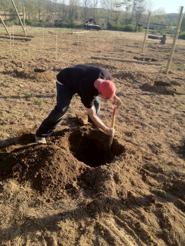 Hard at work, digging in the Original Sin Hard Cider Orchard