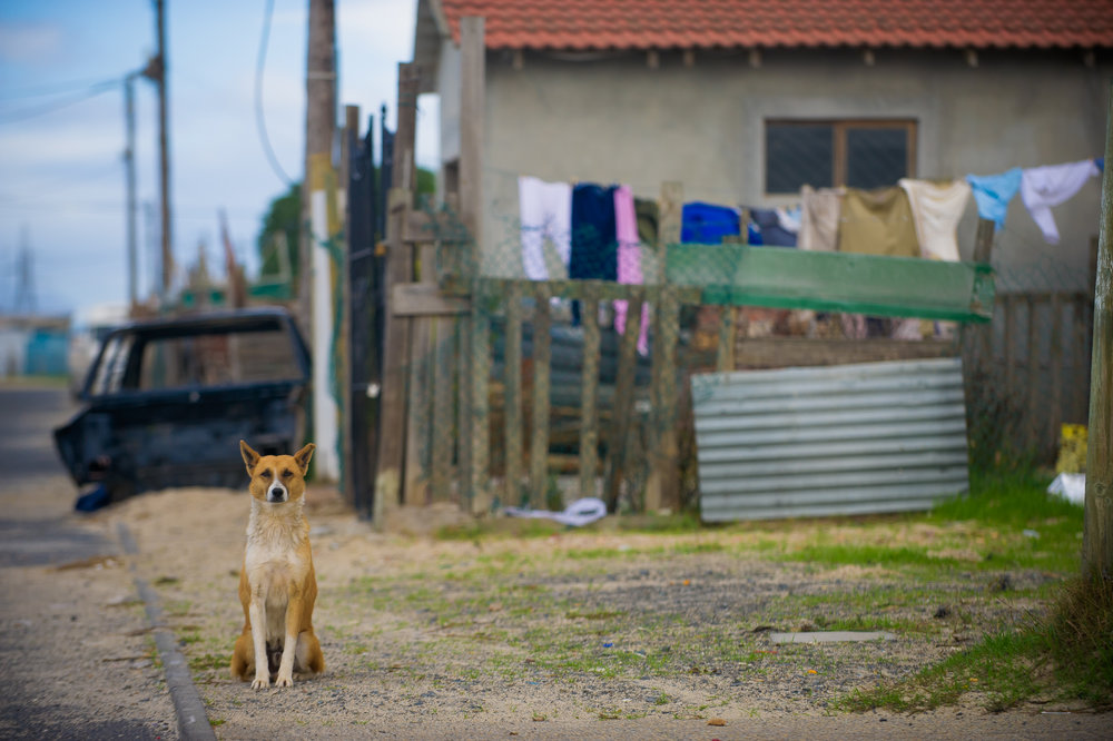 A dog stands guard outside of his home in Khayelitsha. Here, animals are often used to protect what little their owners have, rather than being treated as pets.