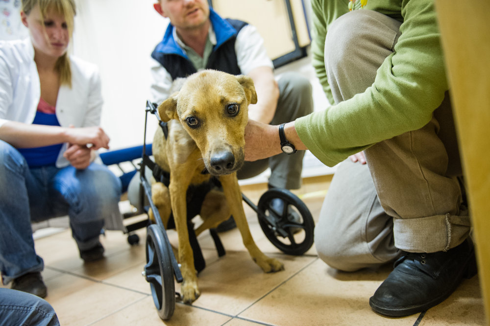 A dog rescued by Mdzananda is taken to a specialist to be fitted for a customized wheelchair to help her walk. If a pet is injured but has a good chance at a successful recovery and a fulfilling life, the staff at Mdzananda rely on their connections in other communities to assist.