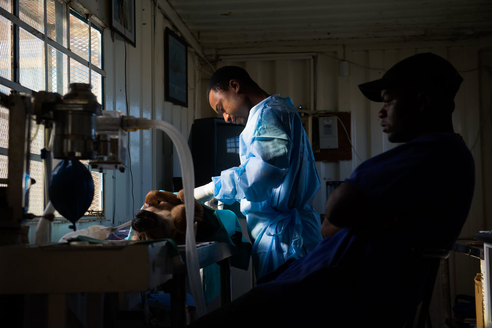 The surgical table, sometimes covered in old newspapers as well as sterilized cloth, is set up by a window in the shipping container for better light.