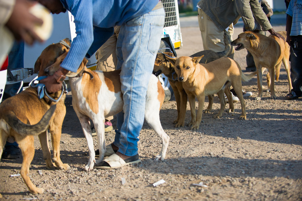 With so many animals in close proximity to one another, the dogs in line for treatment can occasionally become cranky or territorial. The animal care workers move quickly to treat the pets and keep the peace.
