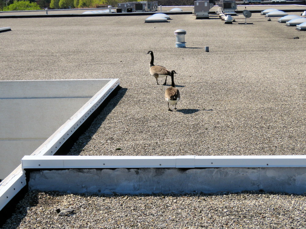 A couple of geese on a roof. Clearly up to no good.