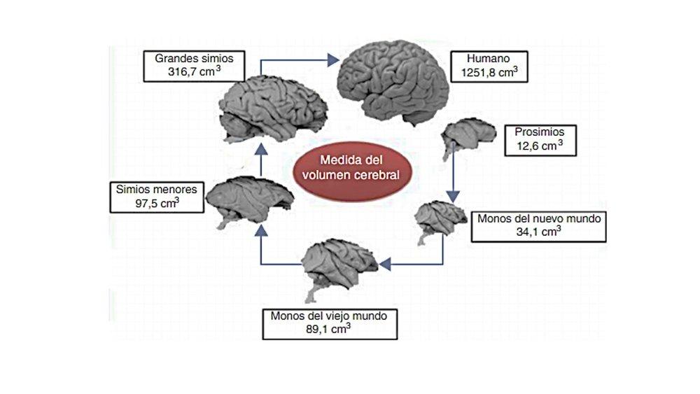 Comparación del tamaño del cerebro humano y distintos simios. Figura de Rosales, Juárez y Barros (2015)
