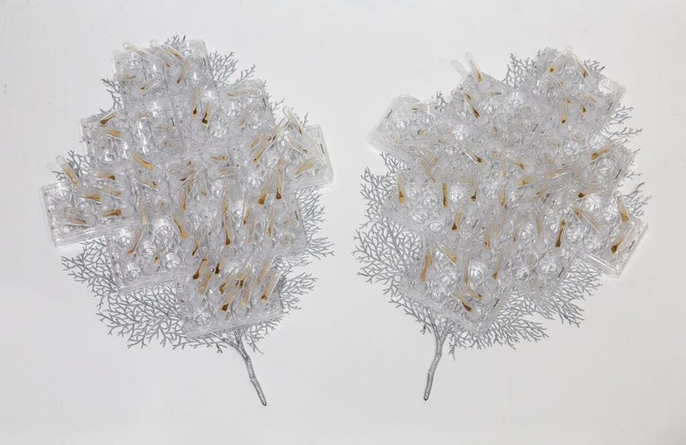 "Quiescent Growth , 2018 Partially decellularized maple keys, test tubes, cell culture plates, synthetic leaves 36""x22""x6"""