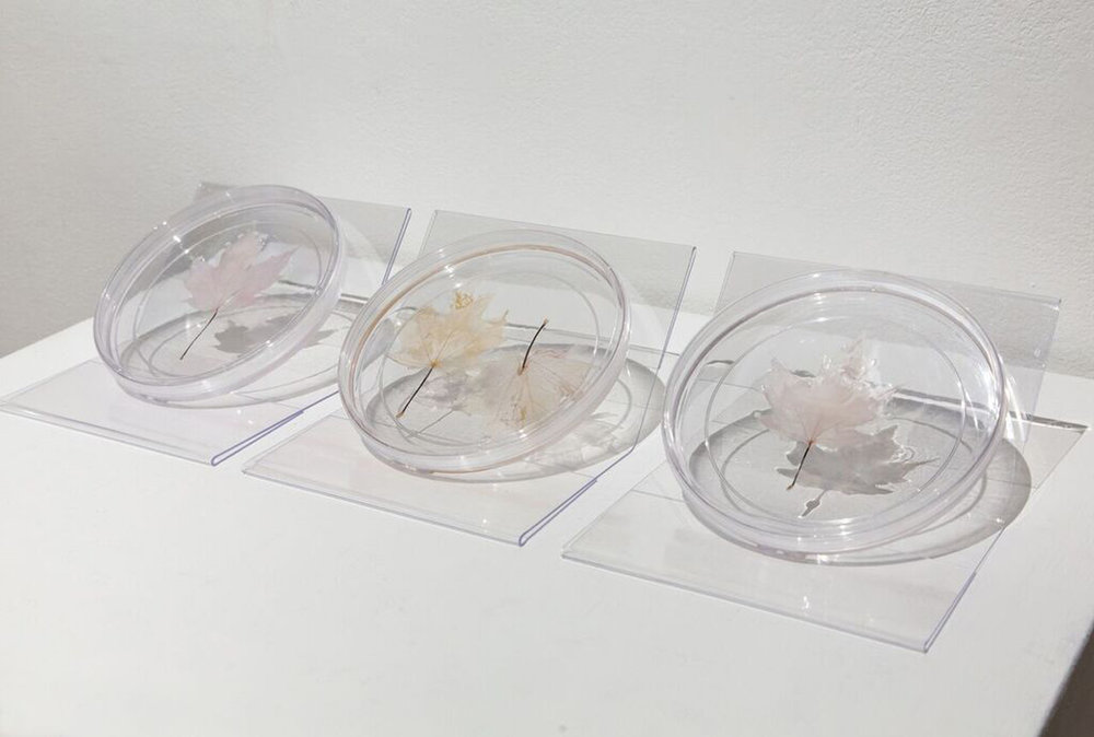 "Lungs of the Earth,  2018  Petri dishes, decellularized maple leaves with human lung epithelial cells 22""x 8""x 1"""