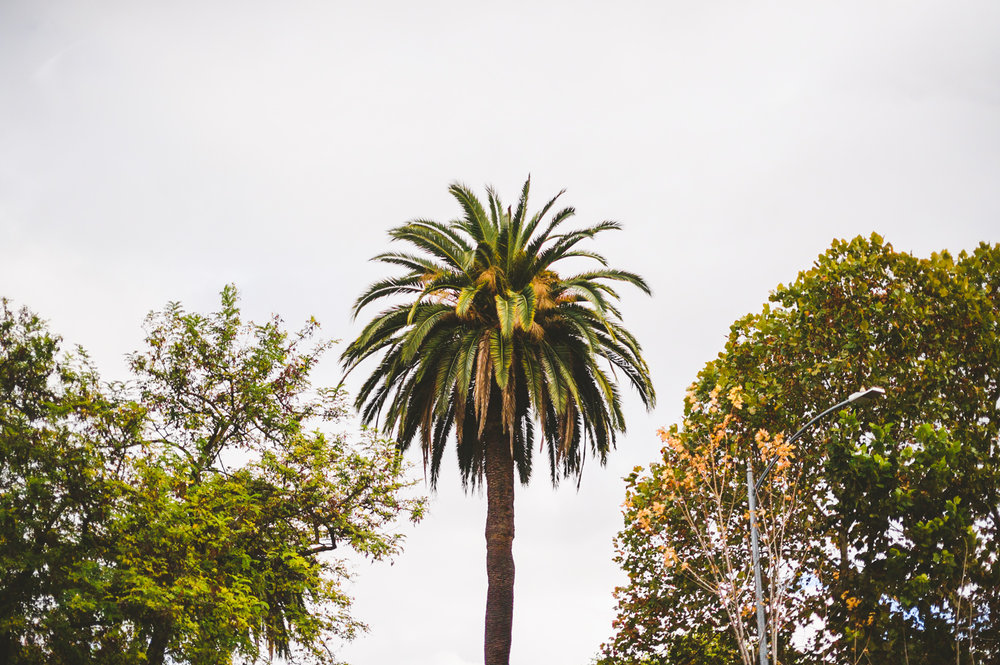 005 - california palm tree.jpg