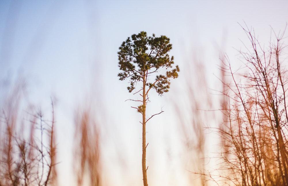 005 - tree at bastrop state park texas.jpg