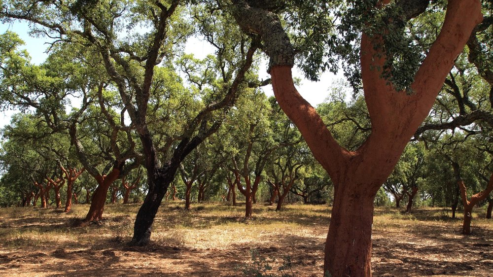 Cork Oak Forest in Portugal