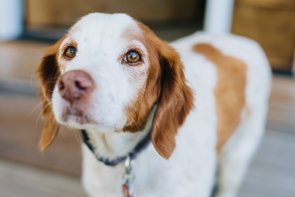 harvard ma family photography portrait session brittany spaniel dog portrait pet