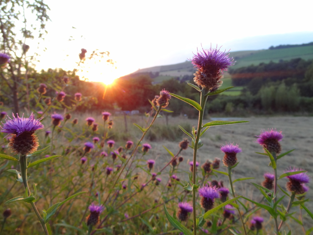 knapweed in a field with the sun setting