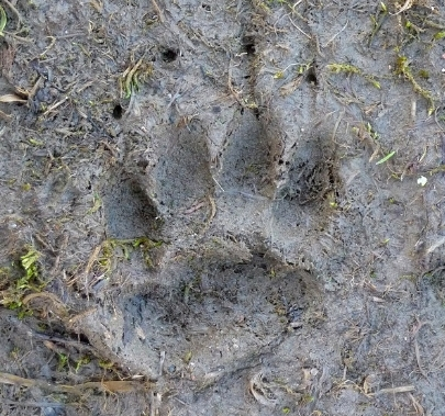 Badger footprints and signs